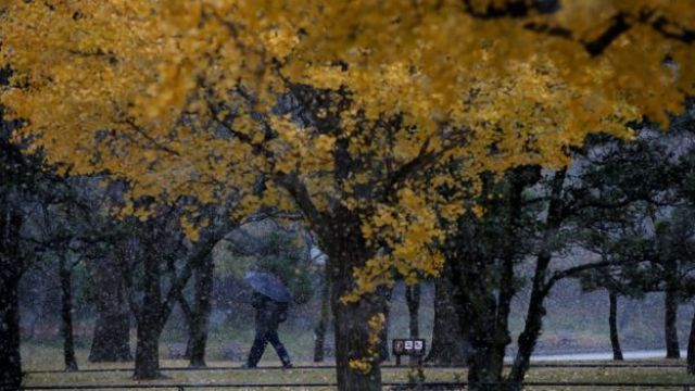 A man walks near ginkgo trees during the first November snowfall in 54 years in Tokyo, at a park in Tokyo, Japan, November 24, 2016