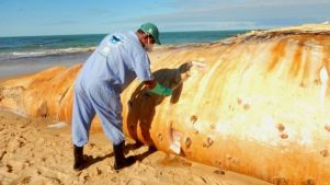 Homem examina baleia encalhada