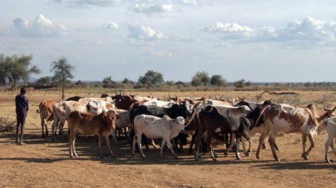 Cattle in Uganda