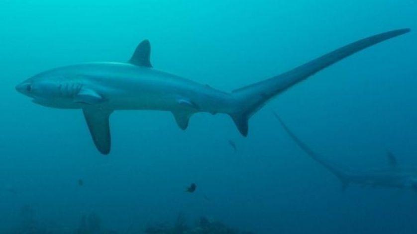 أسماك القرش الدراس