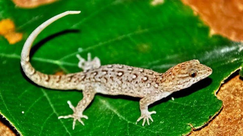 Espécie de lagarto no Brasil, Gymnodactylus amarali
