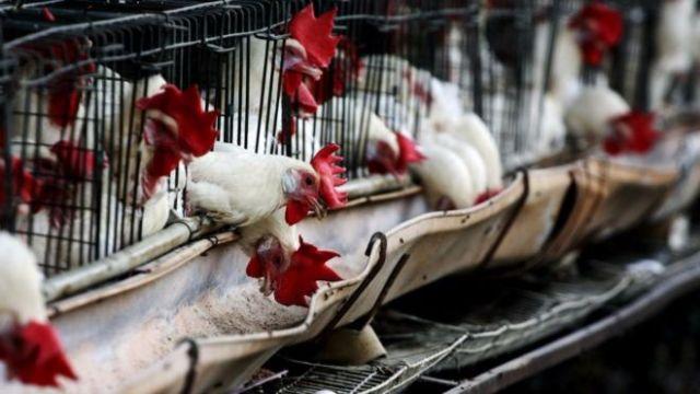 La avicultura mexicana depende de insumos de Estados Unidos.
