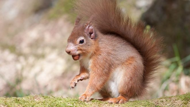 The native British red squirrel. Photo credit: Catherine Clark