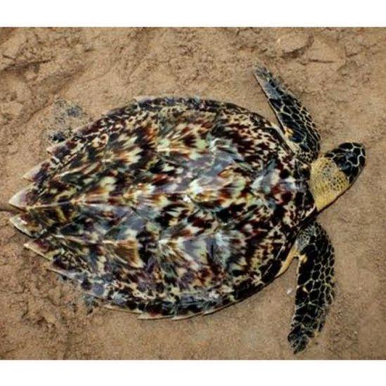 පොතු කැස්බෑවා - Hawksbill turtle (Eretmochelysimbricate)