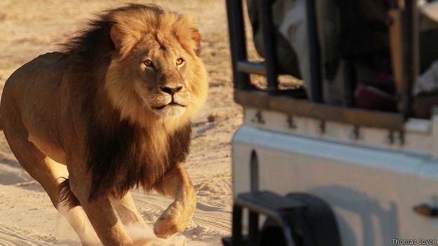 El leónn Cecil corriendo tras un cambión