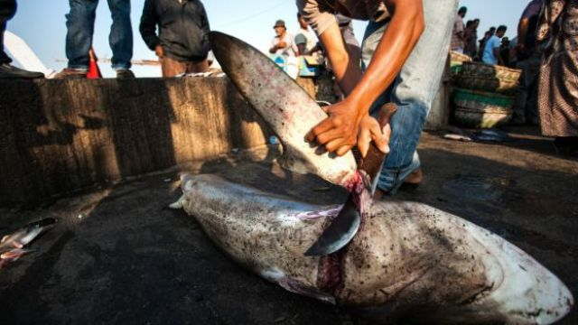 Un pescador cortando la aleta de un tiburón