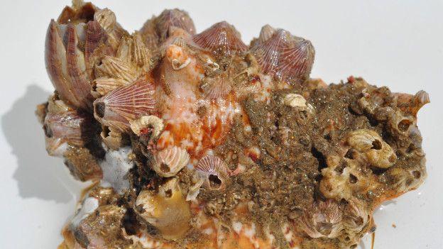 Concha de moluscos cubierta de crustáceos y otras partes de coral