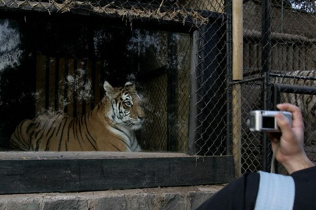 Un león en el zoológico nacional de Chile