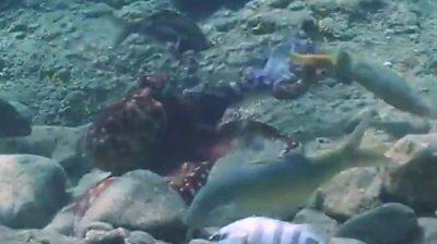 p09299mf क्या उस ऑक्टोपस ने सिर्फ एक मछली को पंच किया था?