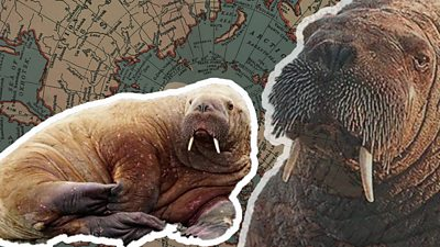 Walrus in Wales: How did Wally end up in Tenby?, Swahili Post