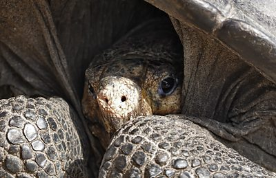 Galápagos tortoise found alive is from a species thought extinct since 1906 #world #BBC_News