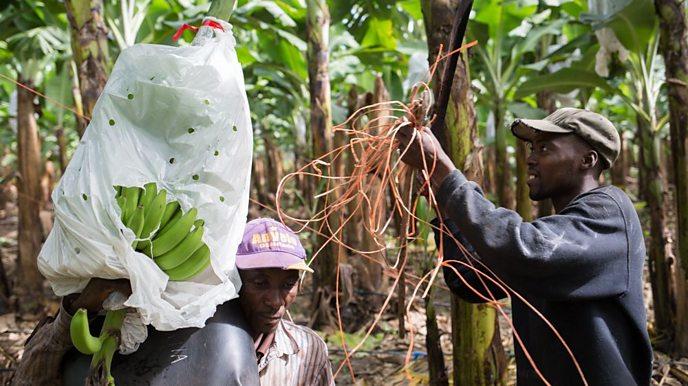 Banana workers at Quinta Pasadena in the Dominican Republic