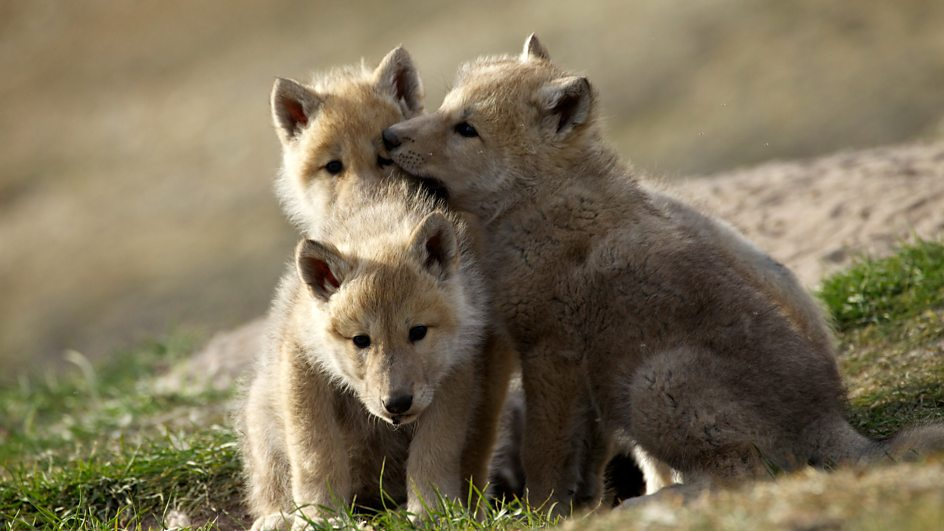 Three Arctic wolf pups Banjo Lola and Meg playing together outside their den
