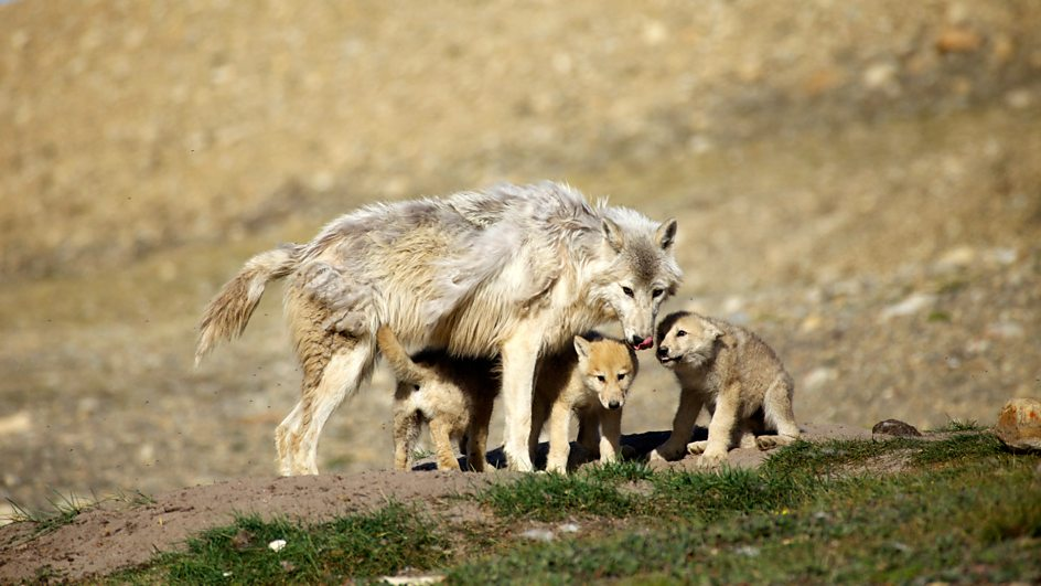Yearling Arctic wolf with his three younger siblings by the den