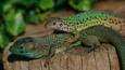 A couple of Eastern green lizards