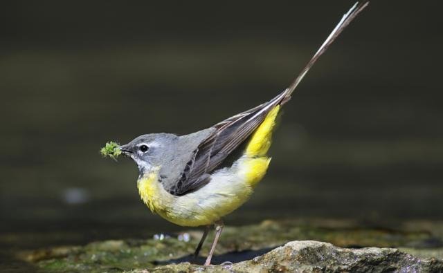 Image result for grey wagtail
