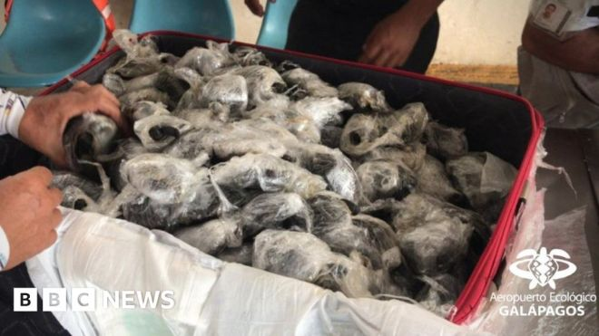 Galápagos tortoises: 185 babies seized from smugglers #world #BBC_News