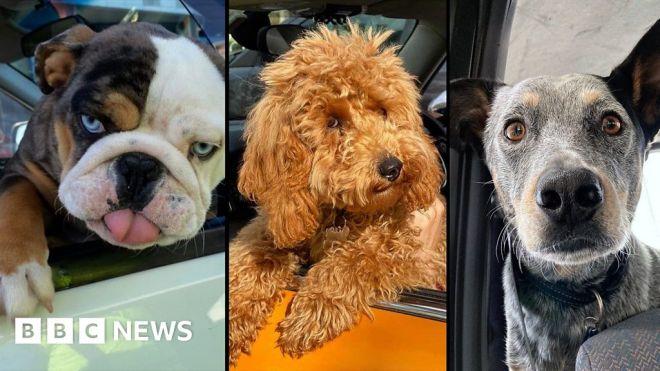 Covid Victoria: 'Swab dogs' spread joy in Melbourne lockdown #world #BBC_News