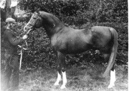 الحصان مسعود