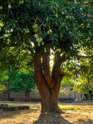 ঝুলন্ত আম সহ একটি আম গাছ