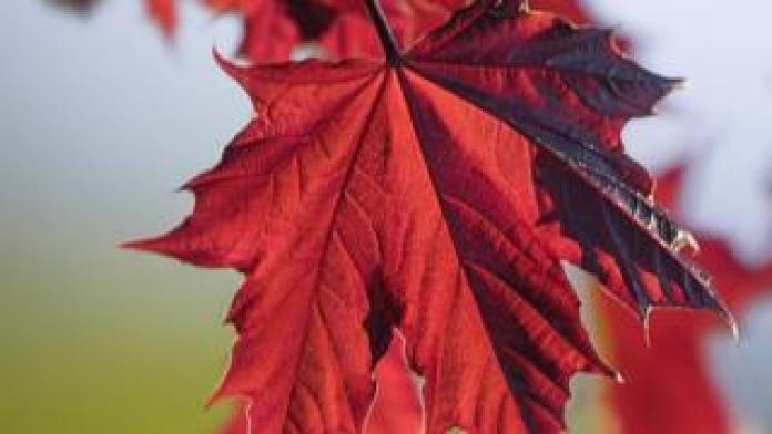 Crimson King maple leaf