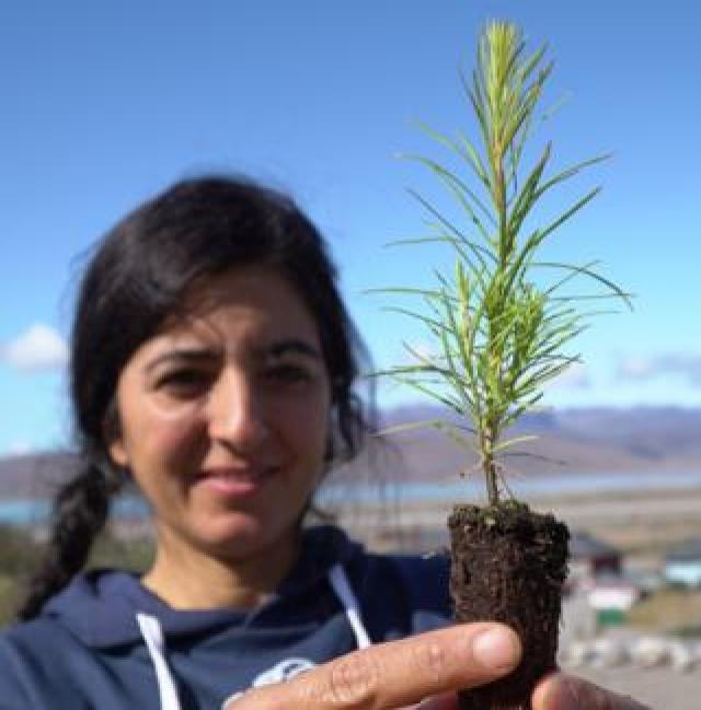 Dr Faezeh Nick plants tree saplings near Narsarsuaq
