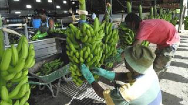 Martinique banana plantation workers, file pic 1 Jan 2006