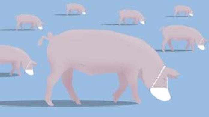 Graphic of pigs wearing masks