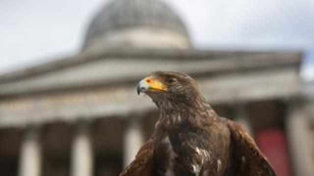 Harris hawk Lighten in Trafalgar Square, 13 June 2020
