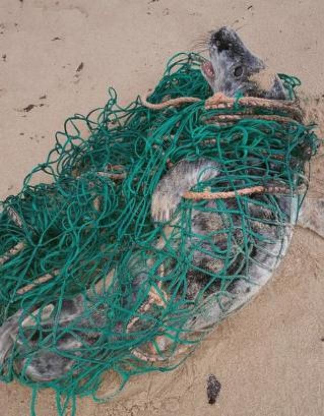 Seal pup in net