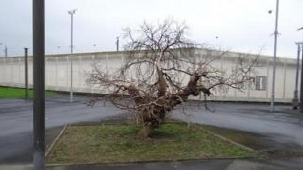 Mulberry bush at HMP Wakefield