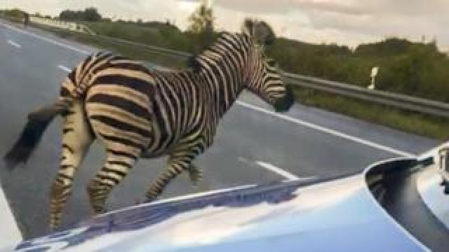 The zebra runs next to a police car on the A20 motorway in Germany on 2 October, 2019.