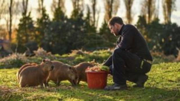 Dave White, team manager of small mammals, feeding the capybara