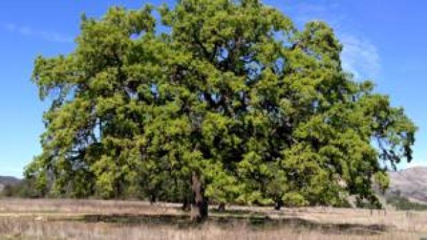 Mature valley oak (Image: Victoria Sork)
