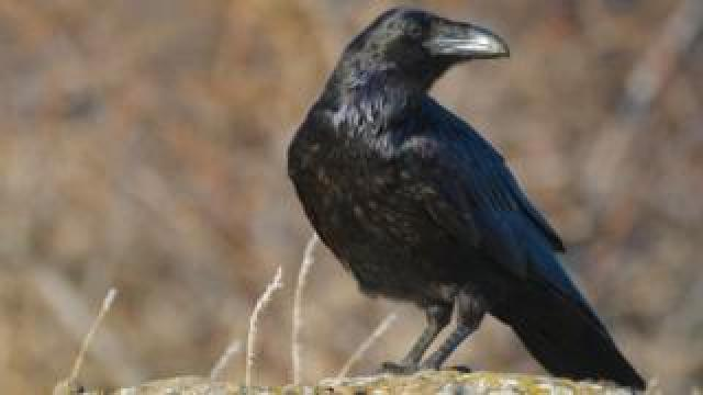 Ravens fell victim to bird poisoners in Wales last year