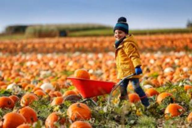 Luximon Annia pushes a wheelbarrow in a pumpkin field at Maxyes Farm Shop in Kirklington, Nottinghamshire