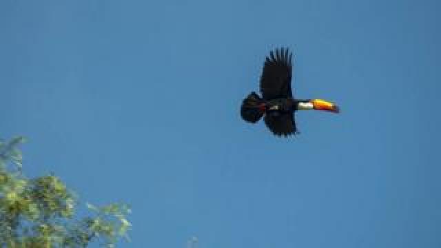 Toucan in Manitoba