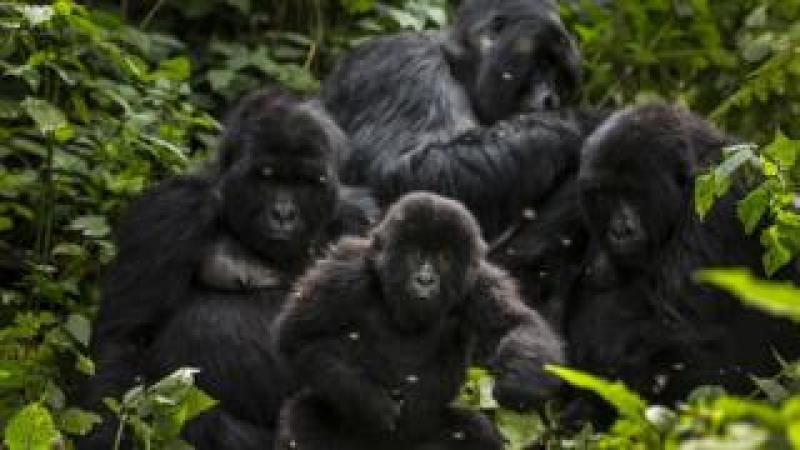 The Bageni family in the gorilla sector of Virunga National Park, on August 6, 2013 in Bukima, DR Congo