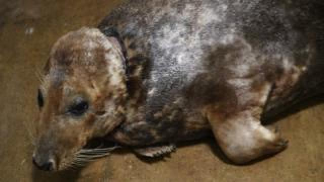 Sir David the adult male grey seal