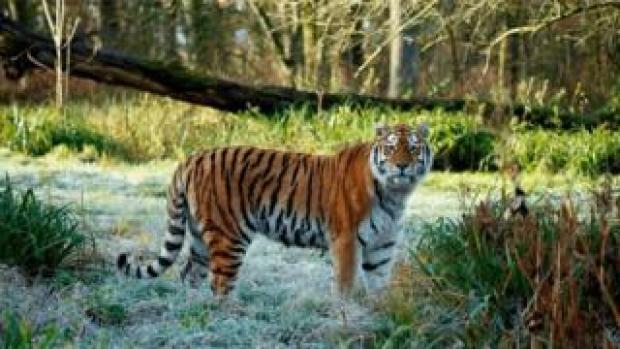 Shouri the tiger