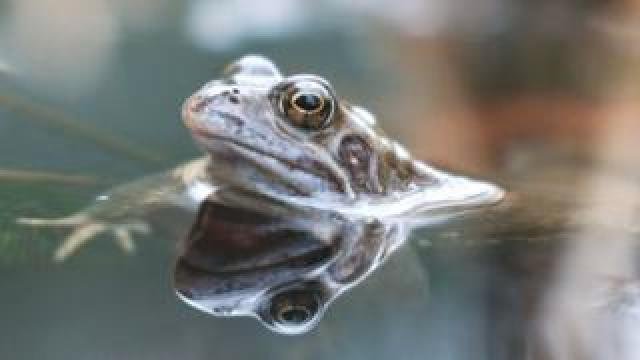Common frog in England