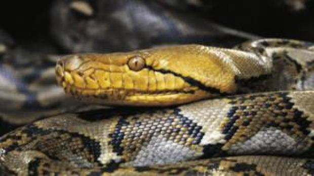 Asiatic reticulated python