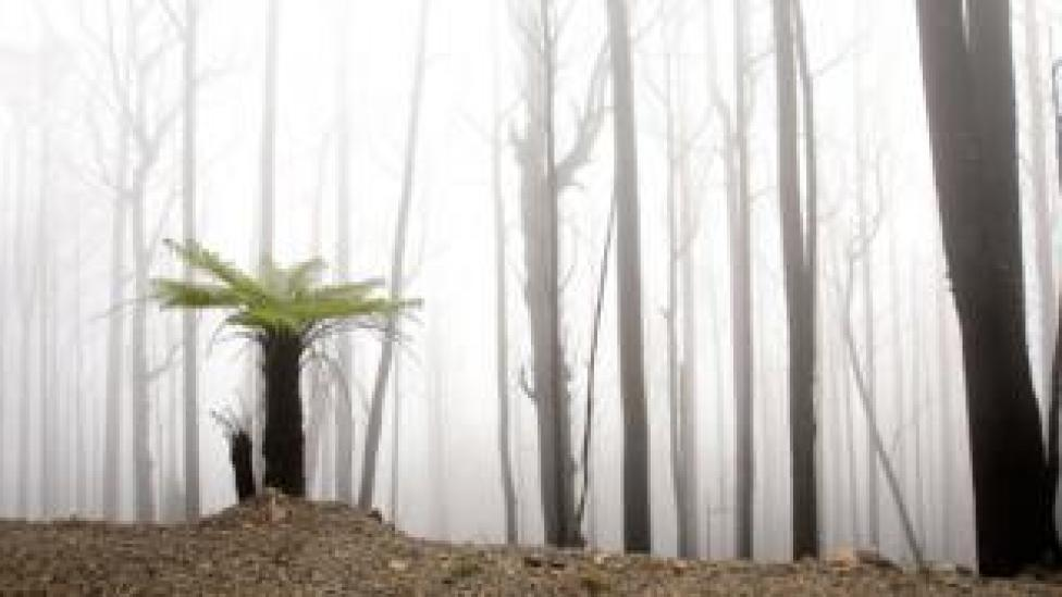 A fern grows in a bushfire-ravaged region, in an image taken two years after Black Saturday