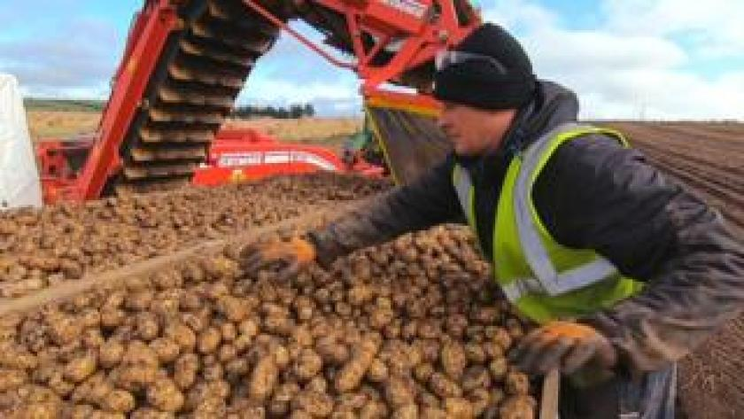 Potato collection in Ellon