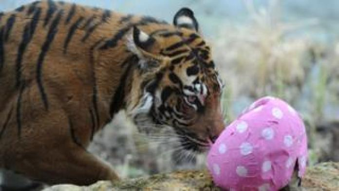 Melati the tiger