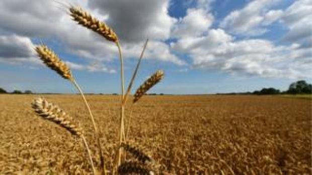Wheat field,