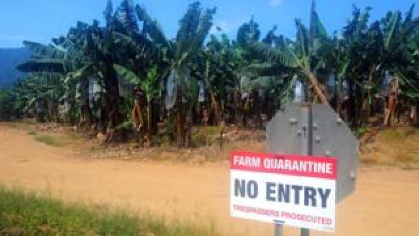 Plantación de bananas en cuarentena