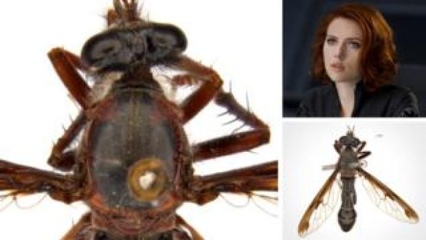 The Black Widow fly, or Daptolestes feminategus - meaning woman wearing leather