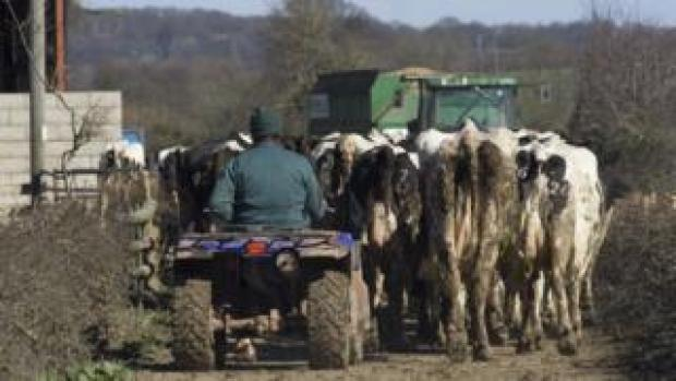 Farmer herding cows in Wales