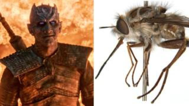 The Night King is pictured next to the newly-named Paramonovius nightking bee fly